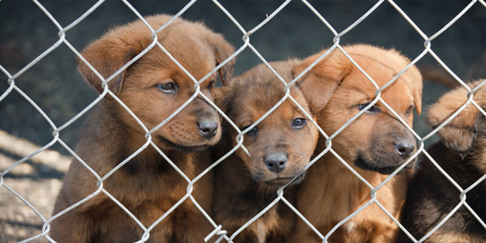1000-puppy-factory-wire