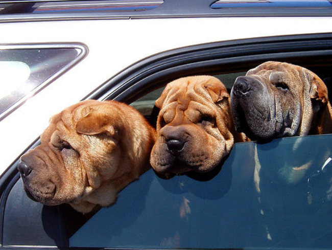 sharpeis-in-car-dogs-in-hot-car-summer-url